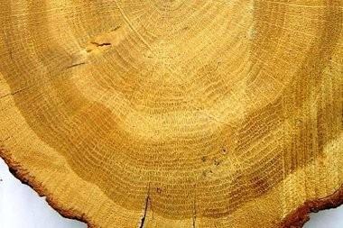 Что скрывают кольца деревьев