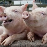 Die Presse: Австрия повезет в Китай и Южную Корею второсортную свинину