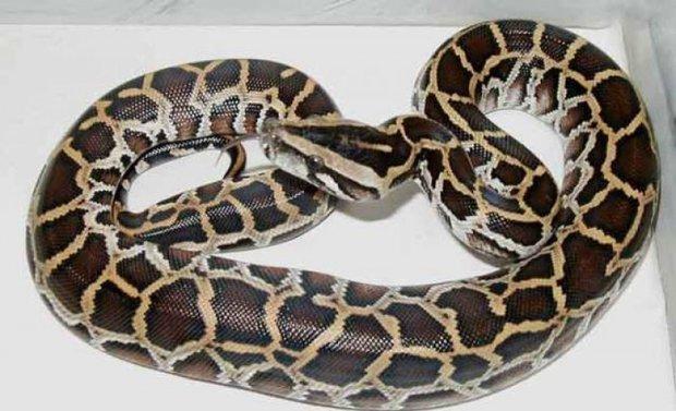 6 молочных змей
