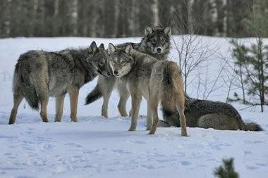В Чернобыльскую зону возвращаются звери