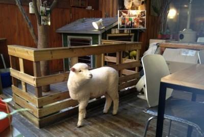 кафе с овцами