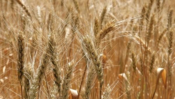 Американская пшеница