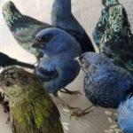 В аэропорту Перу задержали бельгийца с 20 живыми птицами в чемодане